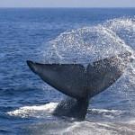 Blue Whale_Dana Point